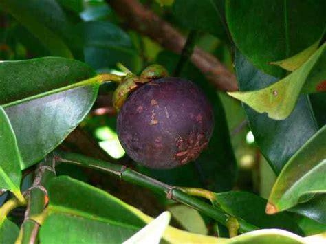 mengenal buah manggis  kulit manggis
