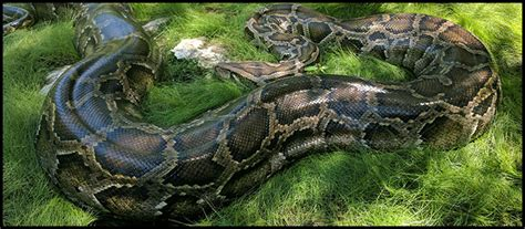 how do pythons live burmese python the behind science this giant snake