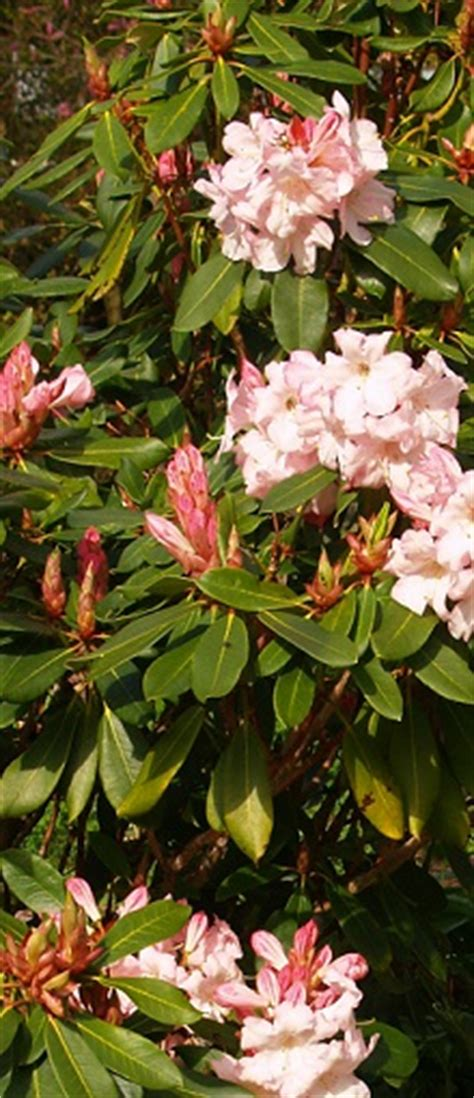 propagating rhododendrons rhododendrons course growing azaleas home study distance learning