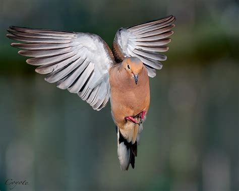 Mourning Dove in Flight Nikon D90 With 105mm f/2 8 Micro