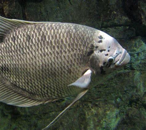 gourami giant aquarium zone fish