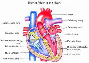 1 Shows The Heart Anatomy From The Anterior And Interior