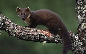 View topic - Gwin the horned marten - Chicken Smoothie