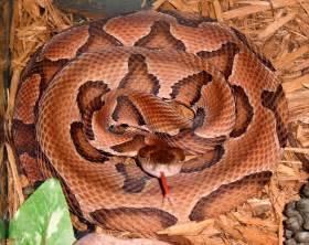 Maryland Copperhead Snake