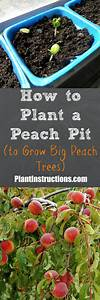 How To Plant A Peach Seed  Pit