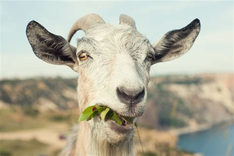 california city launches goat fund   wildfire
