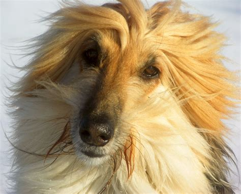 afghan hound dogs breeds longhaired sighthound pets