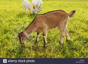 Young Brown Goat Kid Grazing  Eating Grass On A Sun Lit