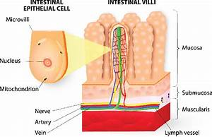 Microvilli Detail Of The Small Intestine Diagram