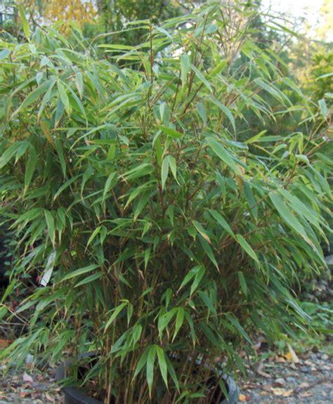 fargesia rufa en pot rufa clumping bamboo 10l pot fargesia rufa 163 29 99