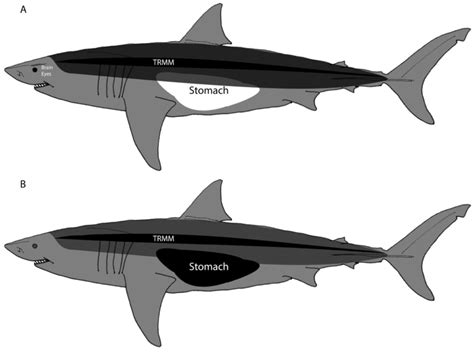 Great White Shark Diagram by Heat Transfer In The Great White Shark Showing Trunk