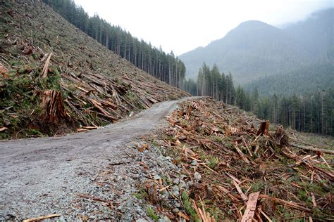 Fighting to save the last of Canada's giant trees     Al ...