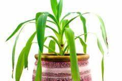 Gummibaum Lässt Blätter Hängen : yucca palme neue triebe z chten palmlilie ~ Bigdaddyawards.com Haus und Dekorationen