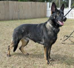 Best Guard Dogs Breeds Protection