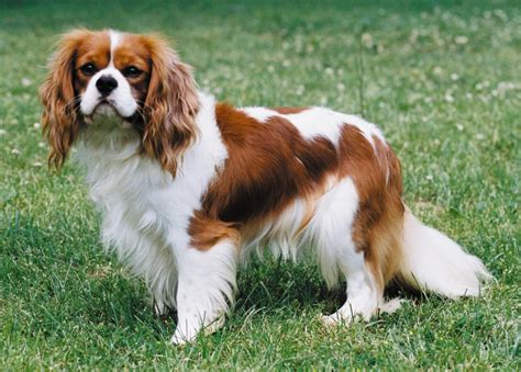 Lhasa Apso Puppy Shedding by Cavalier King Charles Spaniel Breed Guide Learn About