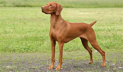 Do Haired Weimaraners Shed by Vizsla Breed Information