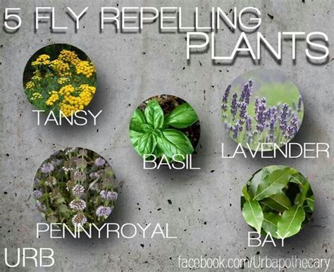 plants that repel flies naturally fly repelling plants diy pinterest the o jays the plant and natural