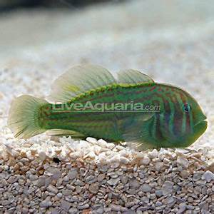Green Clown Goby Peaceful reef safe All clown gobies
