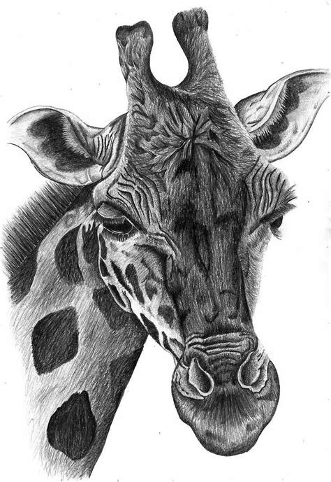black  white sketch   giraffe giraffe portrait