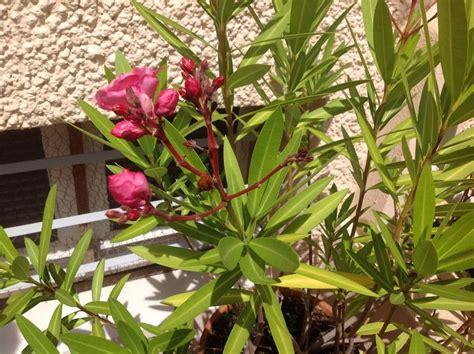 quel engrais pour laurier en pot vid 233 o soignez un laurier pour favoriser sa floraison
