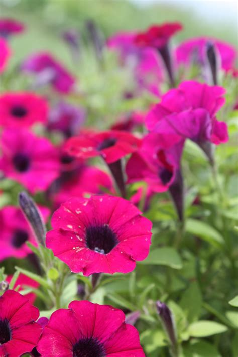 what are annual flowers annuals west madison agricultural research station