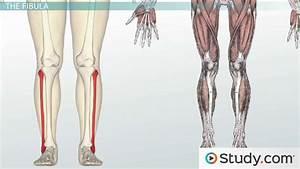 Bones Of The Leg And Foot  Names  Anatomy  U0026 Functions