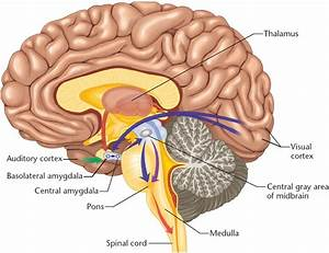 All Parts Of Inside Brain Unlabeled Diagram Brain Diagram