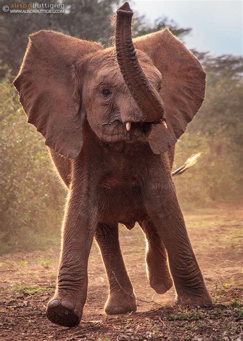 elephants alison buttigieg wildlife photography