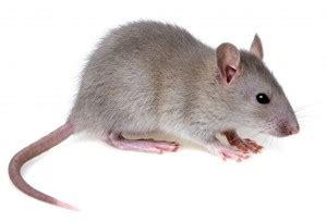 souris dans la maison se d 233 barrasser des souris dans la maison conseils astuces