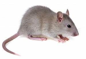 Comment Se Débarrasser Des Souris Dans Une Maison : se d barrasser des souris dans la maison conseils astuces ~ Nature-et-papiers.com Idées de Décoration