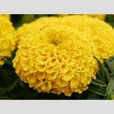 Marigold Flower Wallpaper | 1600 x 1200 jpeg 150kB