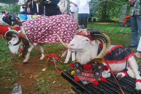 domba asli indonesia