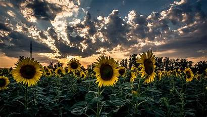 Sunflower Flower Field Sunset 1080p Laptop Fhd