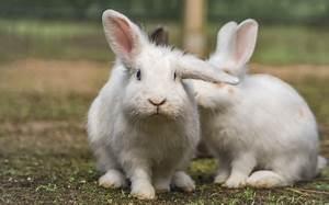 Wie Alt Werden Berner Sennenhunde : wie alt werden kaninchen langes und gl ckliches leben ~ Eleganceandgraceweddings.com Haus und Dekorationen