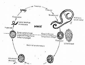 Life Cycle Of Ascariasis Lumbricoids  Roundworm