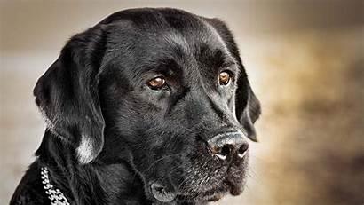 Dog Labrador Wallpapers Retriever Computer Iphone King