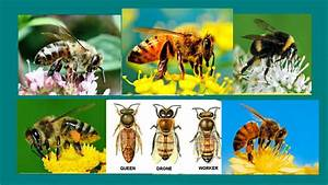 Types Of Bees On The Basis Of Species Or Apiary  Gender