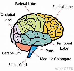 What Is The Middle Cerebral Artery   With Pictures