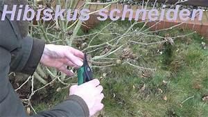Hibiskus Wann Zurückschneiden : hibiskus schneiden gartenhibiskus zur ckschneiden wann und ~ Lizthompson.info Haus und Dekorationen