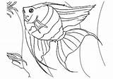 Coloring Fish Angel Pages Printable Angelfish sketch template