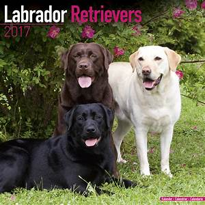 Labrador Retriever  Mixed  Calendar 2017 10086