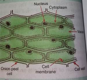 Draw The Figure Of An Onion Peel Showing Cell