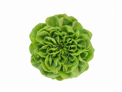 Salanova Lettuce Butterhead Natural Assortment Butter Grow