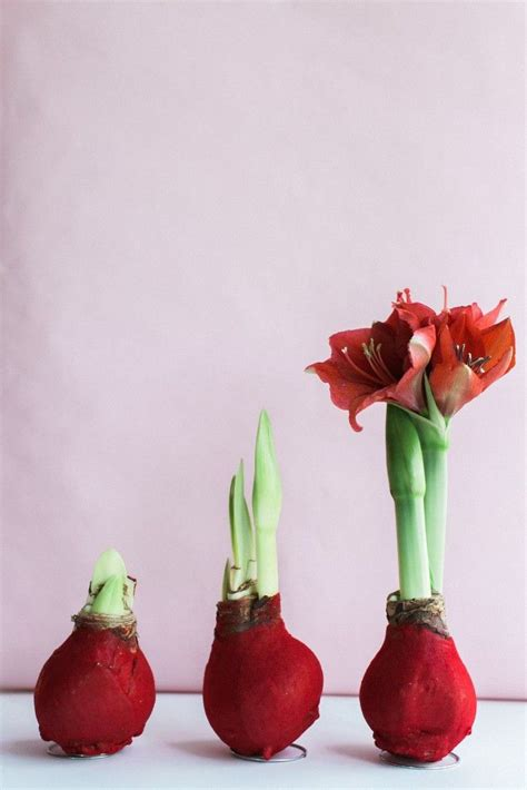 the low maintenance plant wax amaryllis bulbs