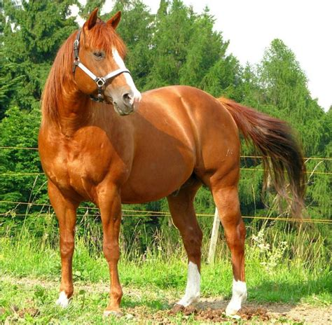 quarter horse american breeds horses facts most chestnut interesting popular grabberwocky history origin gorgeous thoroughbred colors different characteristics brown breed