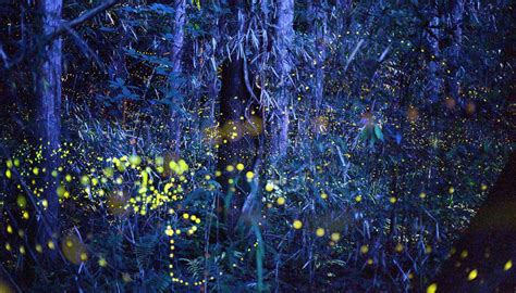 Perchè Le Lucciole Si Illuminano by In Giappone Nell Incredibile Foresta Di Lucciole Siviaggia