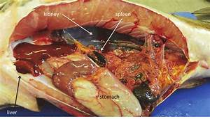 Dissection Of An African Sharptooth Catfish  Clarias Gariepinus