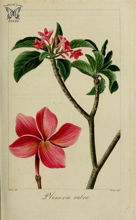 century botanical drawings frangipani flower google