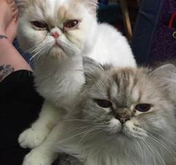 ragamuffin cats ragamuffin cat breed information pictures
