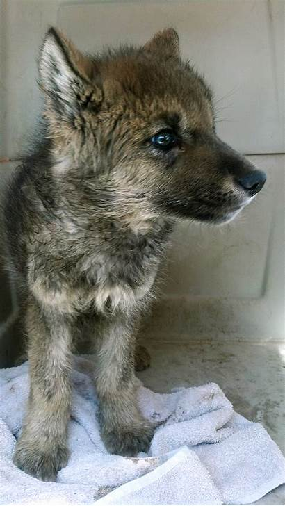 Pup Wolf Blooded Confirm Puppy Idaho Ketchum